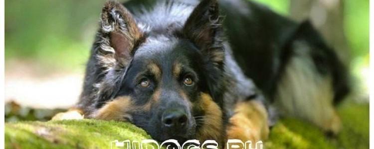 Богемская овчарка: описание чешской собаки, стандарт, уход (ФОТО)