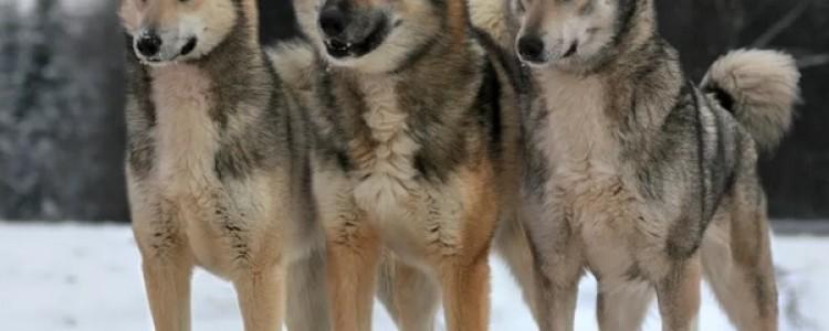 Западносибирская лайка: все о собаке, фото, описание породы, характер, цена