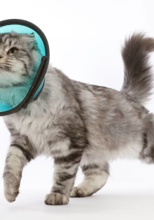Защитный воротник для кошек (инструкция и сделать самостоятельно)