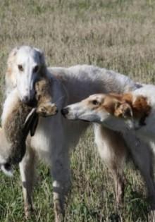 Волкодавы — фото, какие это породы собак, как они выглядят и почему причисляются к этой группе?