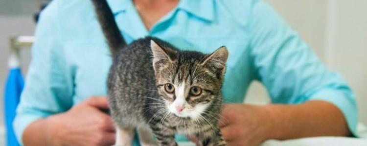 Неспецифическое воспаление кишечника у кошки, симптомы, лечение