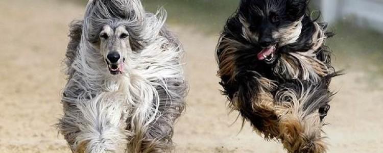 Афганская борзая Фото, описание, характер, факты, плюсы, минусы собаки