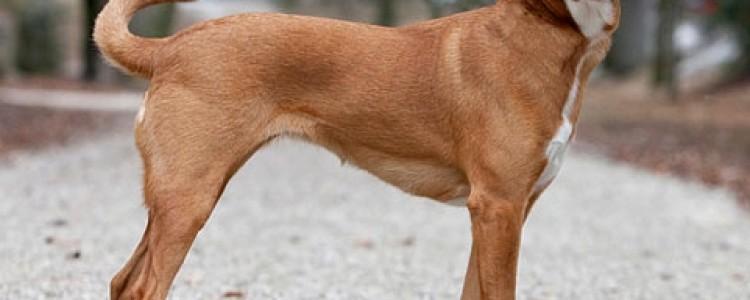 Австрийский пинчер: фото собаки, описание породы