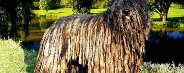 Бергамская овчарка (Бергамаско) — описание породы