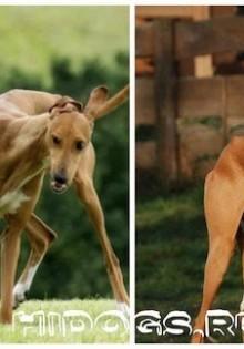 Африканская борзая (азавак): описание породы собак, уход, питание