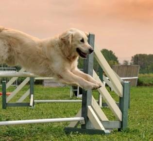 Аджилити для собак — что это, виды снарядов на площадке (трассе), лучшие породы, правила спорта