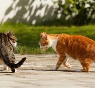 Абсцесс у кошек: на щеке, на холке, на конечностях; как лечить, можно ли вскрыть в домашних условиях, осложнения и опасности