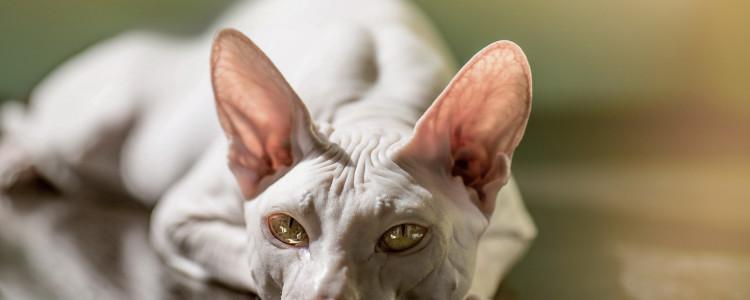 Порода сфинкс браш: характер, повадки, уход и воспитание кошек