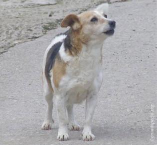 Алопекис: полное описание породы, особенности содержания и ухода за маленькой греческой собакой, полезные фото