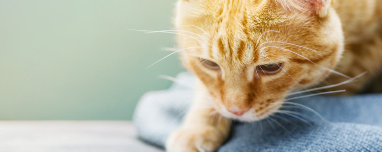 Можно ли кошкам давать парацетамол: действие на организм