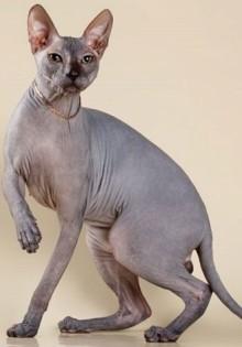 Сфинкс браш (велюровый, с шерстью, волосатый, кудрявый, флок) – описание породы, внешний вид, как ухаживать, кормление