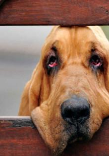 Собака бладхаунд — характеристика породы и особенности содержания