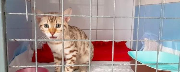 Вторичный алиментарный гиперпаратиреоз у кошек