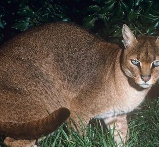 Золотая кошка: ареал обитания, описание внешности и характера, питание и размножение