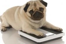Обзор самых толстых собак в мире: какие породы могут быть жирными?