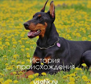 Доберман: описание породы, характер собаки и щенка, фото
