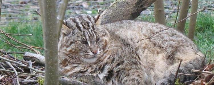 Амурский (дальневосточный) лесной кот: описание, фото