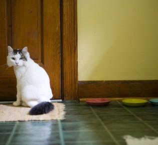 Грибок у кошек, симптомы и лечение грибковых заболеваний в домашних условиях