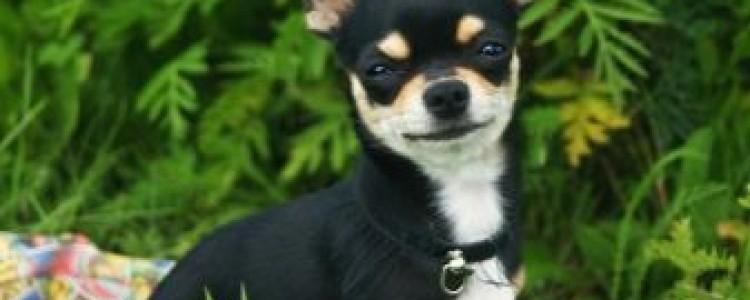 Гладкошерстные породы собак для квартиры, средних размеров, маленькие и большие с фото и описанием