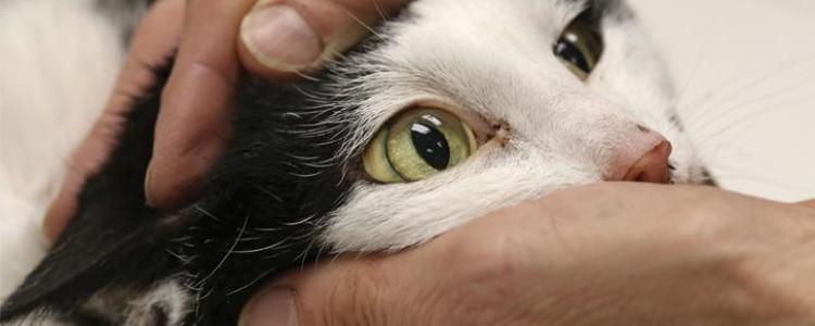 Гепатит у кошек: симптомы и лечение желтухи разной этиологии, прогноз