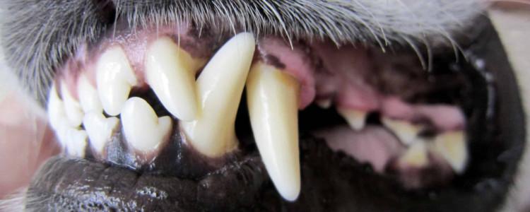 Когда у щенков меняются зубы: сроки, особенности строения челюсти, осложнения при смене зубов у собак