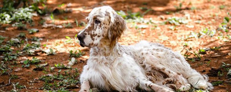 Английский Сеттер: описание, характер собаки, уход, фото
