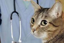 Почему кошки хромают на задние лапы, если не видно каких-то повреждений?