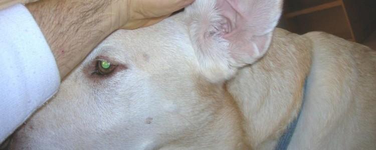 Запах из ушей у собаки: причины и лечение