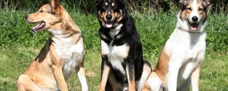 Восточно-сибирская лайка – фото, описание породы, характер, цена щенков