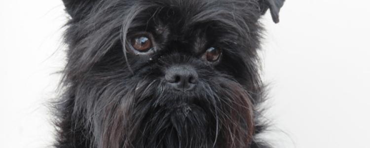 Аффенпинчер: все о собаке, фото, описание породы, характер, цена