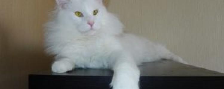 Американская енотовая кошка: сравнения, особенности, факты