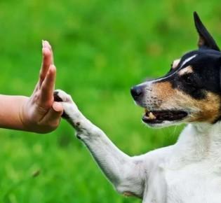 Как научить собаку давать лапу: учим команду «Дай лапу», программа от кинолога
