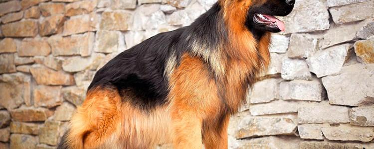 Длинношерстная немецкая овчарка – фото, описание, отзывы