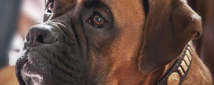 Боксер — фото, описание, характер, факты, плюсы, минусы собаки