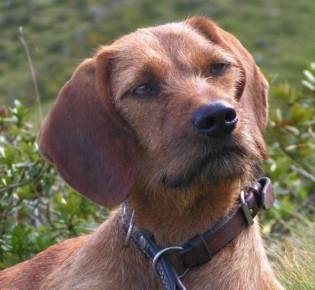 Австрийская гончая — фото, описание породы собак, особенности
