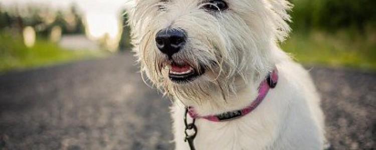 Вест-хайленд-уайт-терьер: все о собаке, фото, описание породы, характер, цена