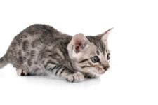 Что делать, если котенок стал агрессивным?