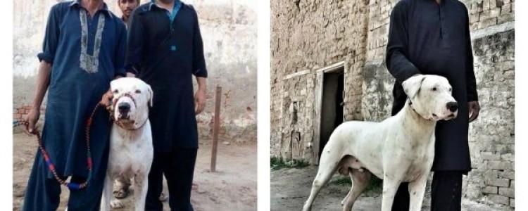 Гуль донг (пакистанский бульдог) — фото, описание породы, особенности