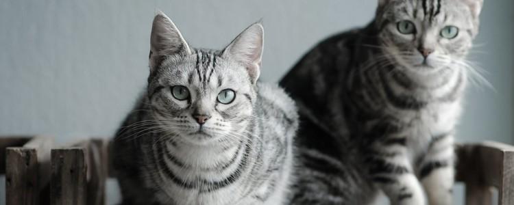 Американская короткошерстная кошка: описание, фото, характер
