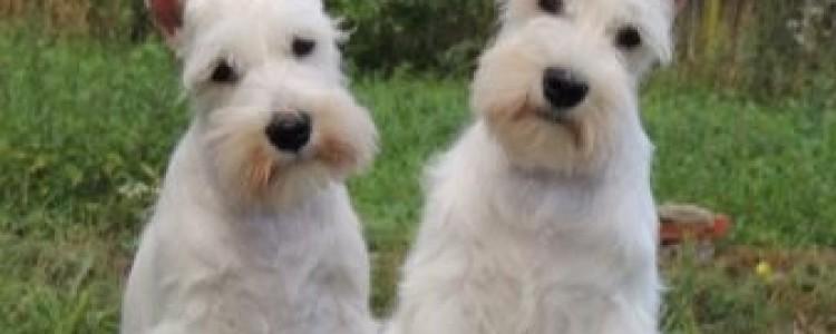 Белые породы собак — список с фото и названиями
