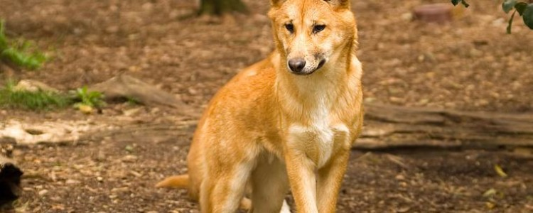Собака динго — возникновение, характер и особенности