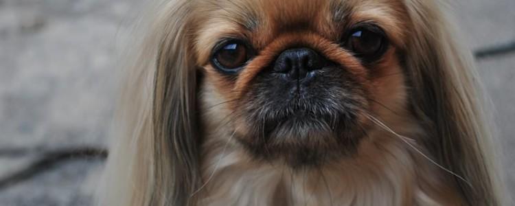 Декоративные породы собак: фото, название, выбор щенка для квартиры, отзывы, видео