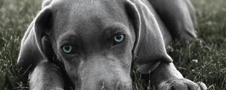Веймаранер — порода собак