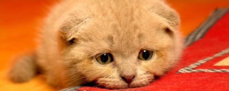 Глисты у кошек: симптомы и лечение гельминтов, препараты