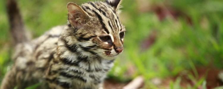 Азиатская леопардовая кошка – описание вида, фото, условия содержания