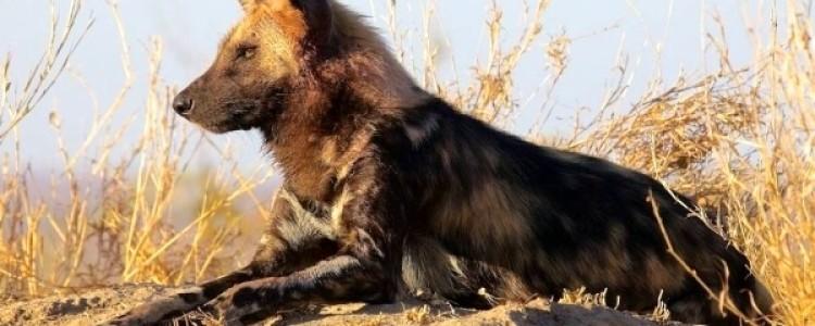 Гиеновая собака Фото, описание, ареал, питание, враги