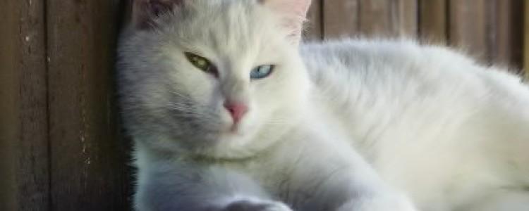 Анатолийская кошка: фото, описание породы, характер, достоинства и недостатки, сколько стоит?