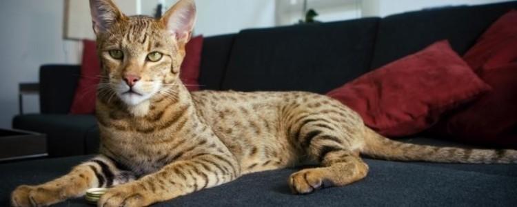 Ашера — фото, описание, характер, факты, плюсы, минусы кошки