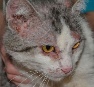 Демодекоз у кошек: симптомы с фото и лечение препаратами и народными средствами в домашних условиях