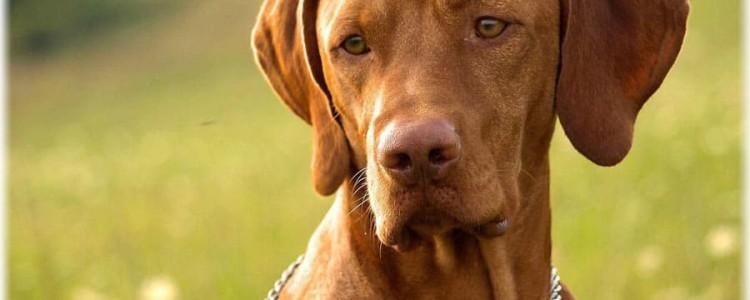 Венгерская выжла — порода собак
